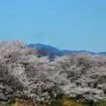 写真: 桜~滋賀県草津市