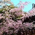 写真: 枝垂れ桜~鎌倉長勝寺