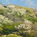 写真: 山桜~逗子披露山