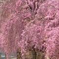 Photos: 桜~宇都宮