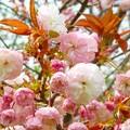 写真: 八重桜~逗子 大崎公園