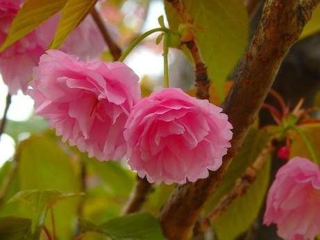 写真: 八重桜~逗子第一運動公園
