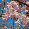 桜~山梨県忍野村