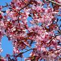 桜~忍野村