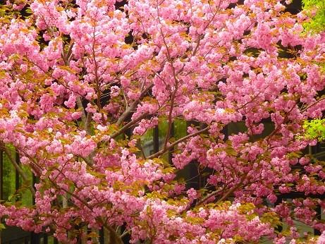 満開八重桜~箱根