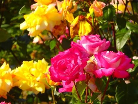 薔薇~平和記念公園