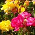 写真: 薔薇~平和記念公園