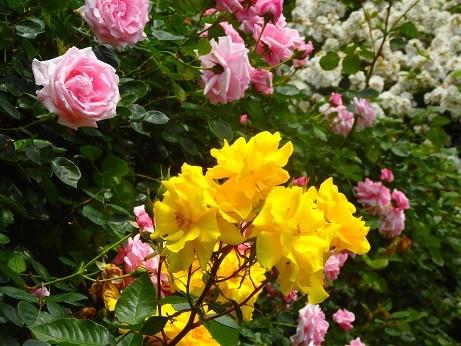 薔薇~鎌倉文学館