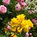 写真: 薔薇~鎌倉文学館