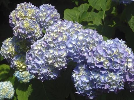写真: 紫陽花~品川公園
