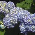 紫陽花~品川公園