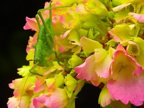 写真: 色付き始めた紫陽花で^^