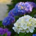 写真: 白紫陽花~逗子披露山公園