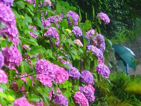 紫陽花~上野公園