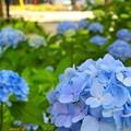 紫陽花~白川公園
