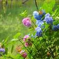 紫陽花~井の頭公園
