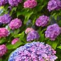 紫陽花~鎌倉市材木座