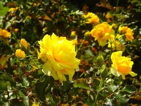 薔薇~ヴェルニー公園