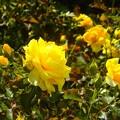 写真: 薔薇~ヴェルニー公園