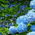 紫陽花~新宿御苑