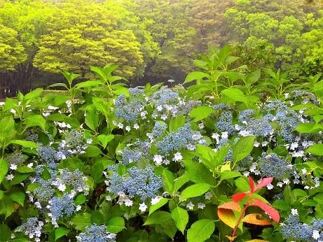 額紫陽花~名城公園