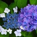 写真: 紫陽花~小金井市