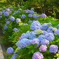 写真: 紫陽花~シーパラダイス