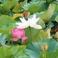 紅白蓮~源氏池