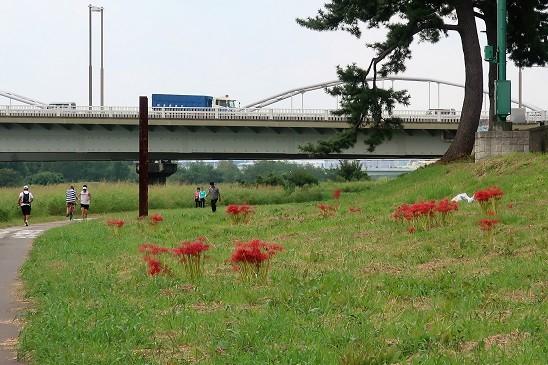 河川敷の彼岸花~多摩川