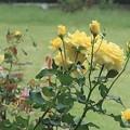 秋薔薇~日比谷公園