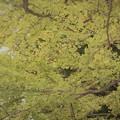 写真: 銀杏~昭和記念公園