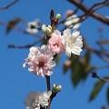 Photos: 桜~新横浜