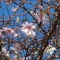 Photos: 十月桜~新横浜