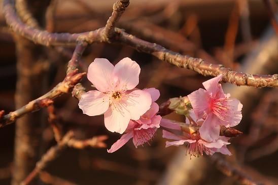 河津桜~鎌倉 光明寺