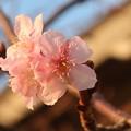 河津桜~鎌倉