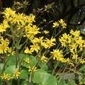 蕗の花~安養院