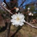 Photos: 小福桜~徳川庭園