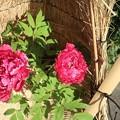 牡丹~徳川庭園