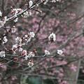 梅と桜~蘆花記念館