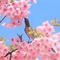 Photos: 桜ジロ~逗子 大崎公園