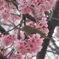 桜ジロ~日比谷公園