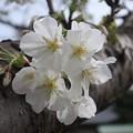 山桜~逗子