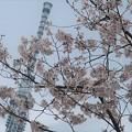 Photos: 隅田川の桜