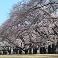 Photos: 桜~稲荷山公園