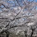 Photos: 稲荷山公園の桜