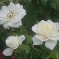 秋薔薇~横浜山手