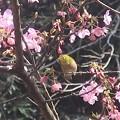Photos: 桜ジロ~逗子