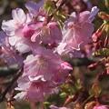 Photos: 近所の河津桜