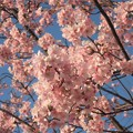 河津桜~天王洲アイル