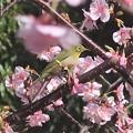 Photos: 桜メジロ~厚木中央公園